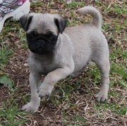 PUG PUPPIES FOR ADOPTION INTO A NEW HOME!!!!!!!!!!!!