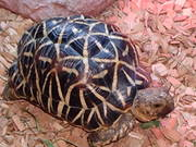 indian  star male tortoise
