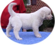 Top Quality Golden Retriever Puppies For Sale